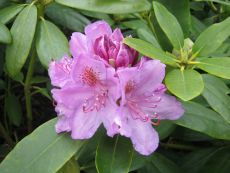 Rhododendron Catawbience Grandiflora